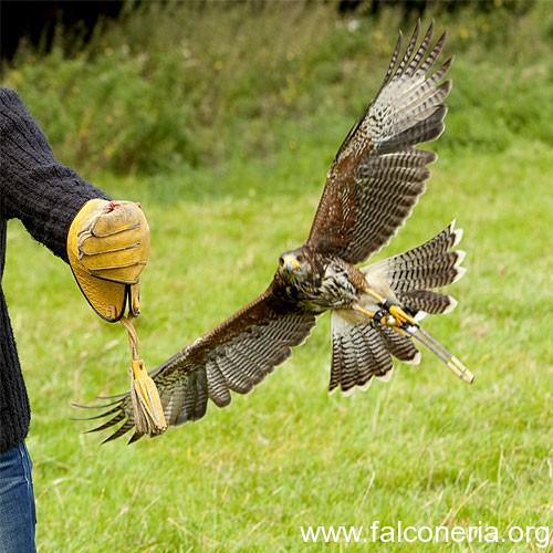 addestramento falconeria