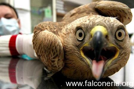falco malato