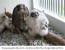 La Riproduzione in Cattività del Falco Pellegrino: Crescita Pullus