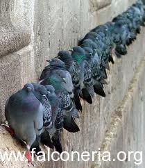 piccioni-come-ratti