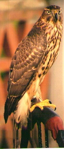 Questa è la mia femmina di Astore (Accipiter Gentilis) in abito giovanile (1993)