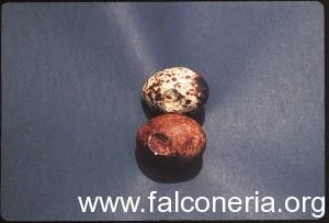 uova falco pellegrino rotte
