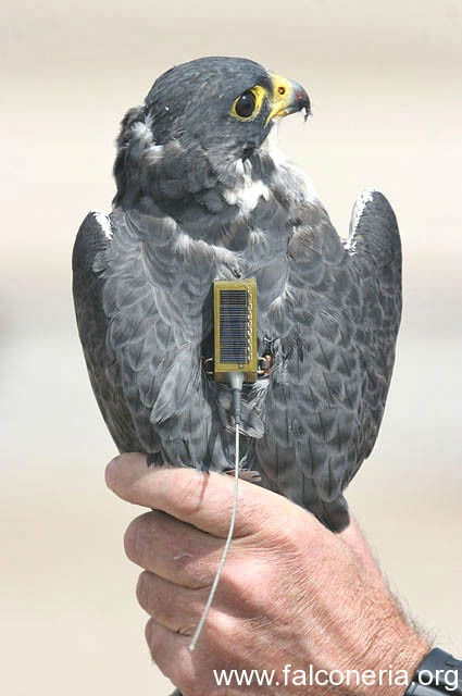 telemetria falconeria