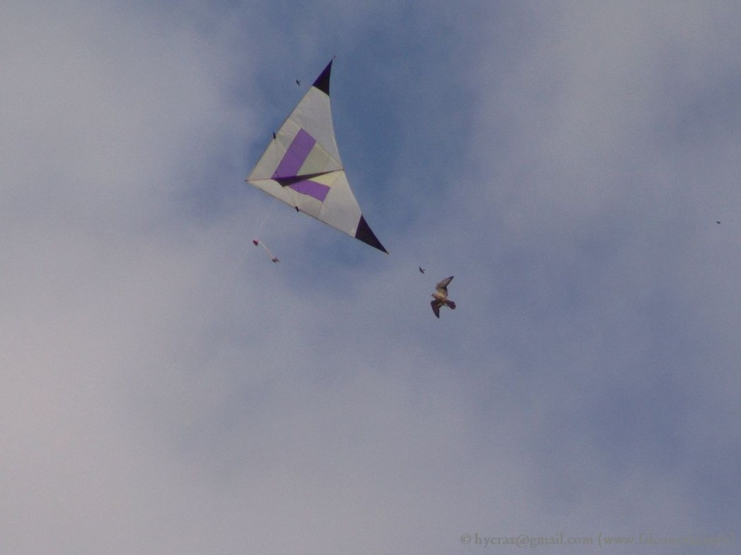 falco_lanario_aquilone_kite_falconry_1280
