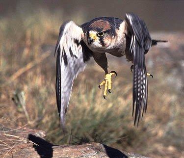 falco-picchiata-caccia