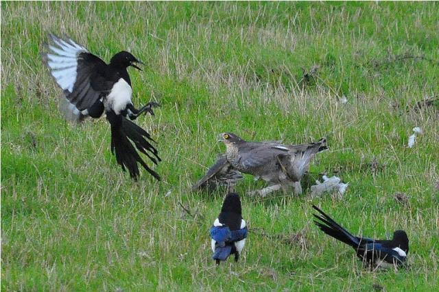 Sparrowhawk_ Magpie_ Collared Dove
