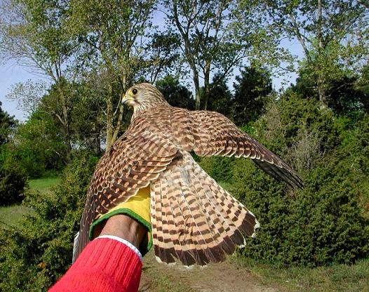 a Falco tinnunculus 3