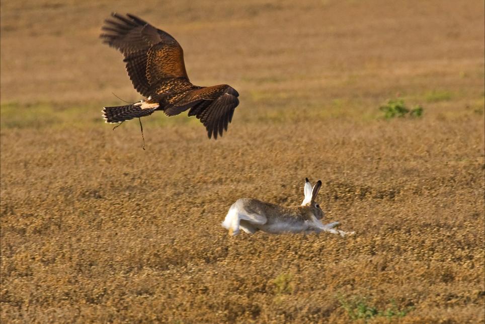 golden-eagle-harris-hawk-cross