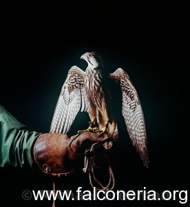 Falcon on glove