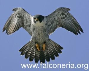 Peregrine Falcon Flight From Walt Whitman Bridge Camden & Philadelphia