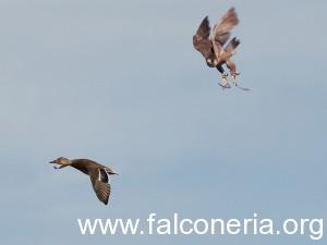 La caza de patos por altanería  es sublime