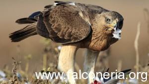 Aquila-del-bonelli-