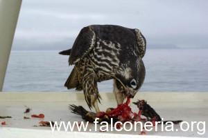 falco mentre mangia