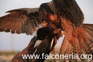 caccia_col_falco
