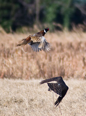 caccia_falco_apertura_caccia