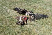 Animalisti contro ecologisti! Rapaci rari sfracellati dalle pale eoliche