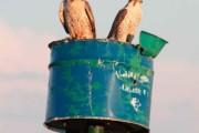 Progetto di ricerca e conservazione del falco sacro in Mongolia