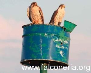 nidi artificiali falco sacro