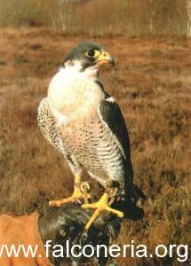 Il falco pellegrino di Grant. Foto: Eoghan Ryan
