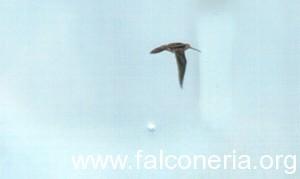 Beccaccino in volo. Foto: Berta Peinado