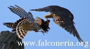 Falco_columbarius_pair_Auburn_NY_2