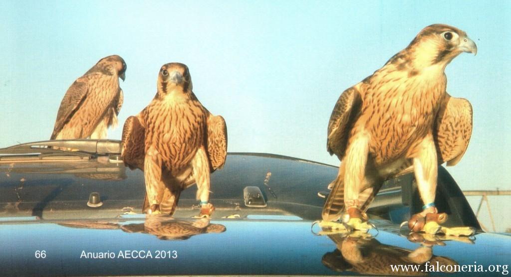 addestramento falconi altani 0001