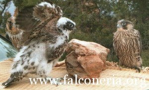 addestramento falconi altani 0002