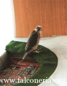 addestramento falconi altani 0006