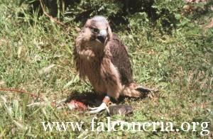 addestramento falconi altani 0006b