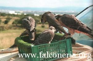 addestramento falconi altani 0007