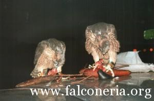 addestramento falconi altani 0009