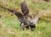 La caccia con smerigli migratori negli U.s.a.