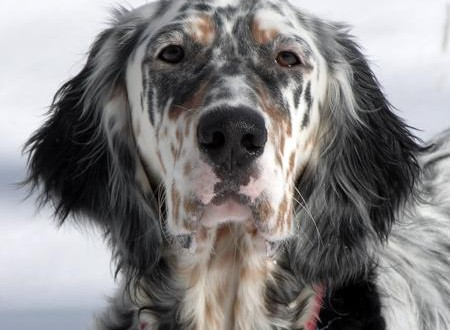 english_setter_weird_factsdid_you_know-450x330