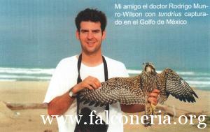 falco pellegrino 00333