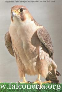 falco pellegrino 0044
