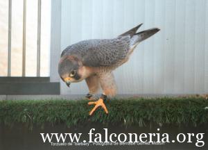 falco pellegrino 0055
