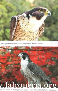 falco pellegrino 0066