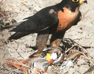 Le sottospecie di Falco pellegrino