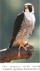 falco pellegrino 0088