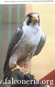 falco pellegrino 0099