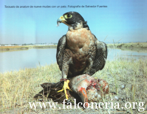 falco pellegrino 0122