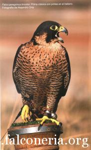 falco pellegrino 0133