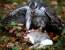 Giornata di caccia al coniglio con l'astore