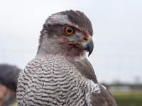 falconeria 11