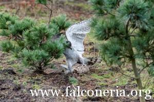 falconeria 6