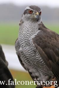falconeria 8