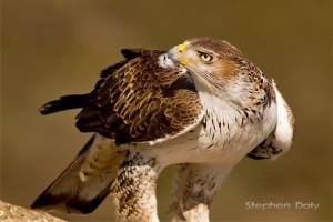 Bonell's-Eagle-adm-feed_0101