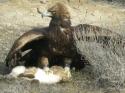 Eagle Falconry