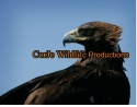 eagle falconry DVD\\\\\\\'S